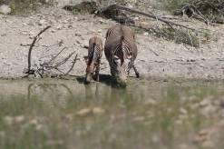 harrtmans zebra