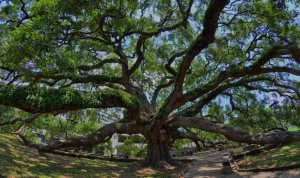 the Treaty Oak in Austin